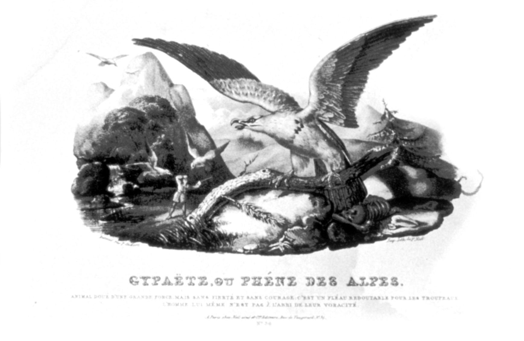 Phène des Alpes
