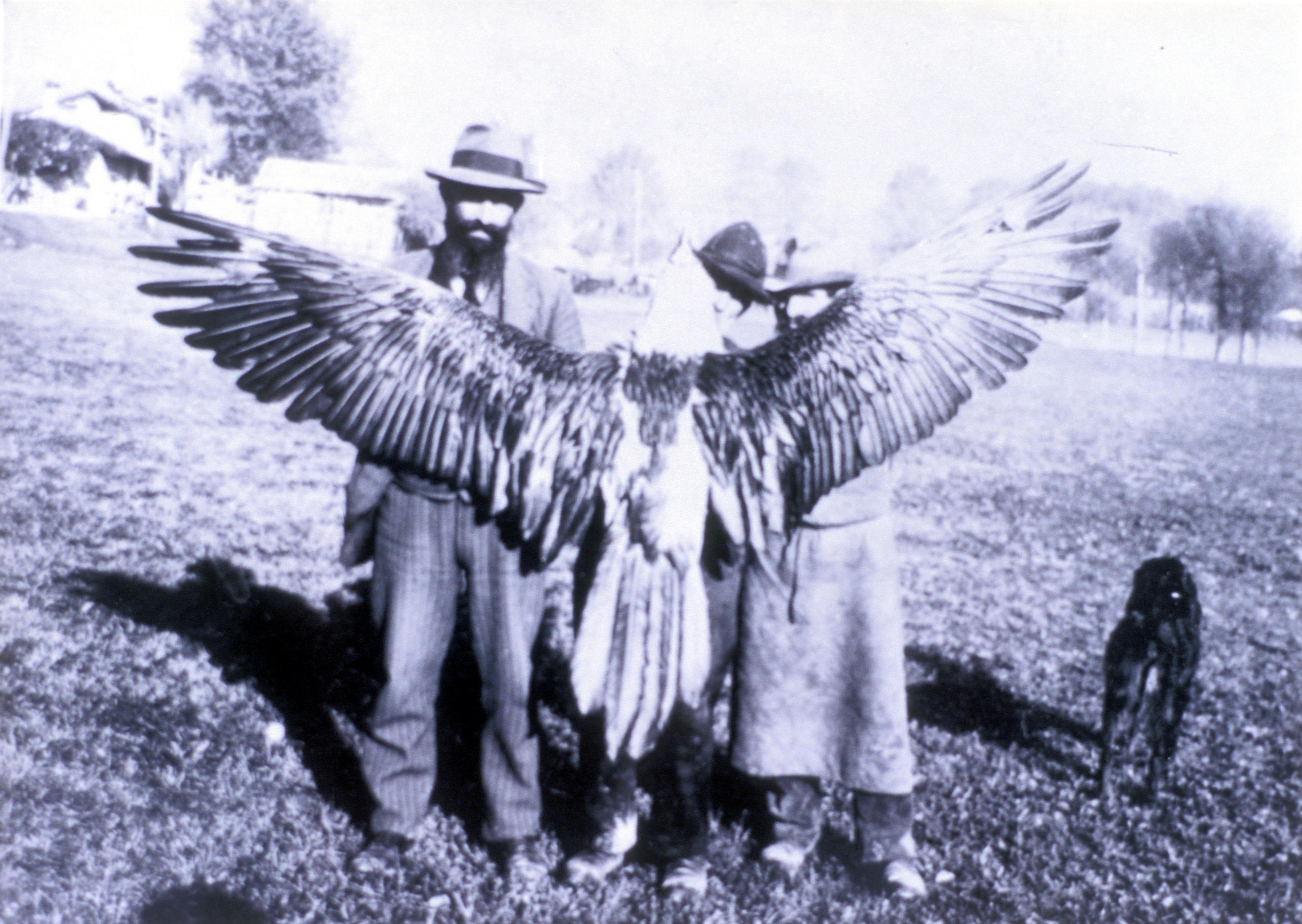 Gypaète mort 1913